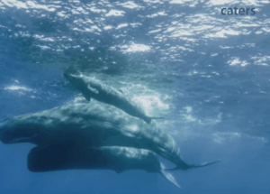 Video: Incredible Sperm Whale Birth Caught on Film
