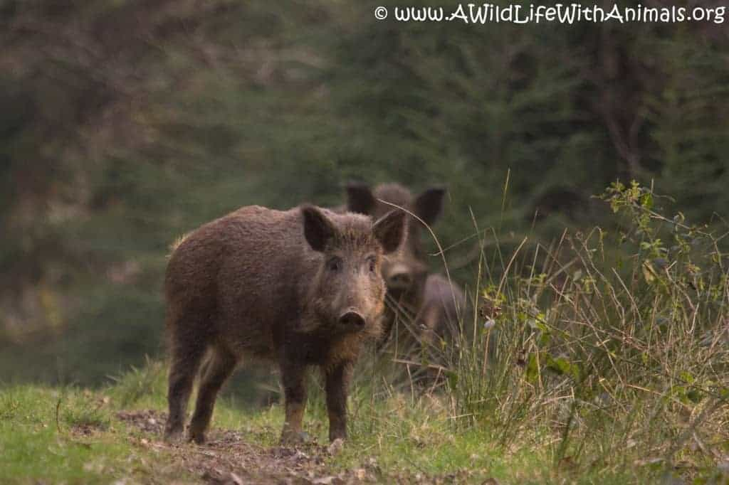 Poll: Are wild boar a welcome addition back in the UK countryside?