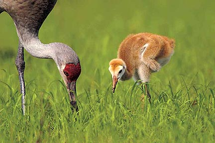 Video: The Sandhill Cranes of Florida