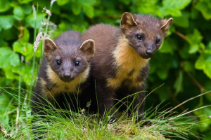 Video: Marten - a Gibbfilm story