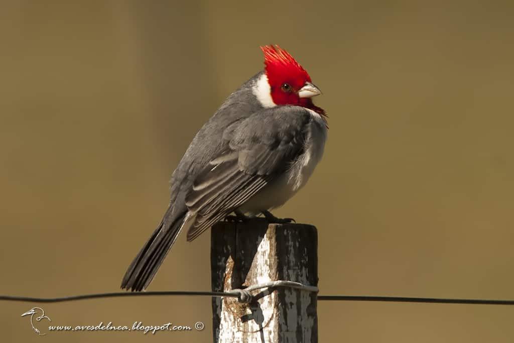 red crested cardinal paroaria coronata