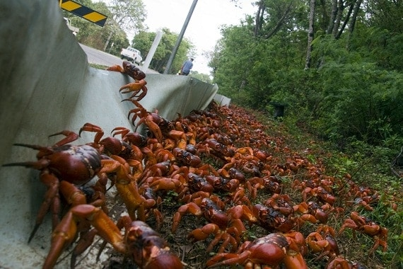 Video: Christmas Island's Incredible Red Crab Migration