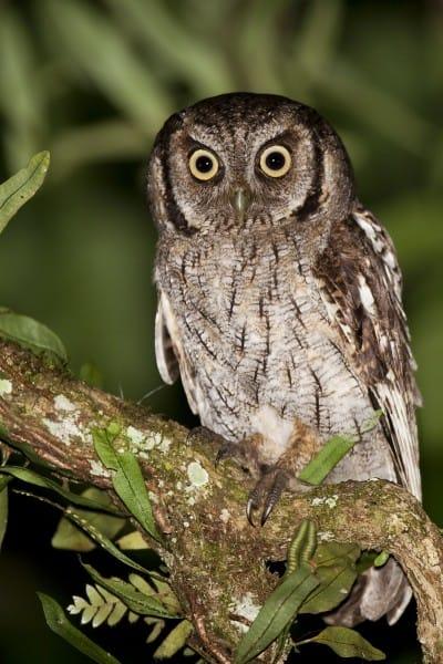 tropical screech owl megascops choliba