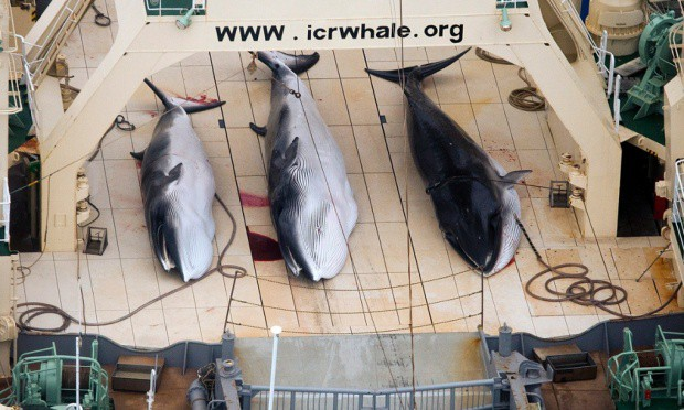 research papers produced on japanese whaling Japan's scientific whaling program has been the subject of jokes  japan has  only pointed to two peer-reviewed papers produced as a result.
