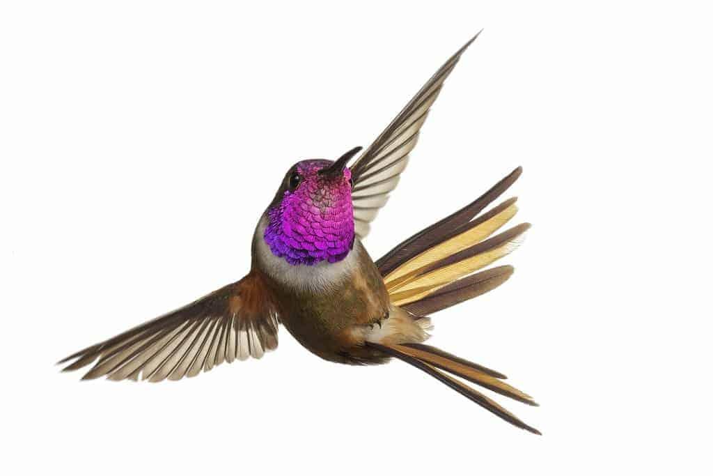 Inaguan Lyretail: Scientists Unveil New Species of Hummingbird