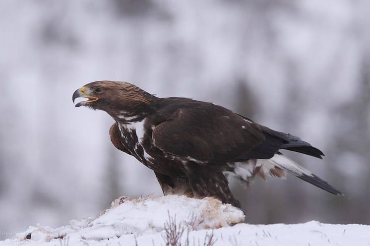 Video: Golden Eagle at Norway Nature, Flatanger, Norway