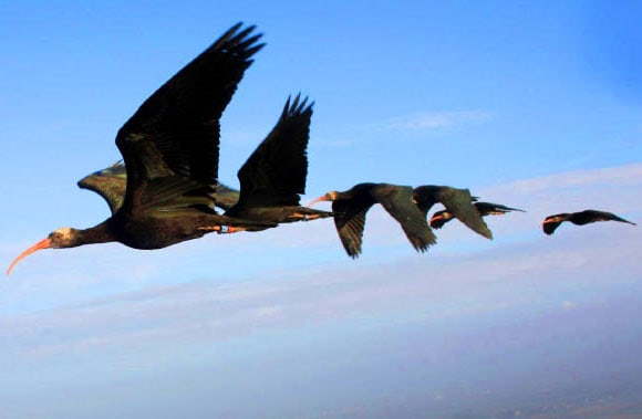 Northern Bald Ibises Take Turns When Flying in V-Shaped Formation