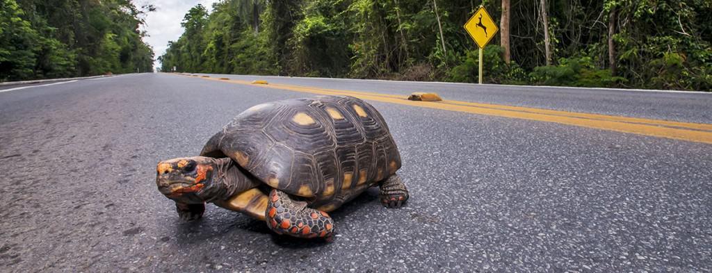 Jabuti crossing a highway (Sooretama)