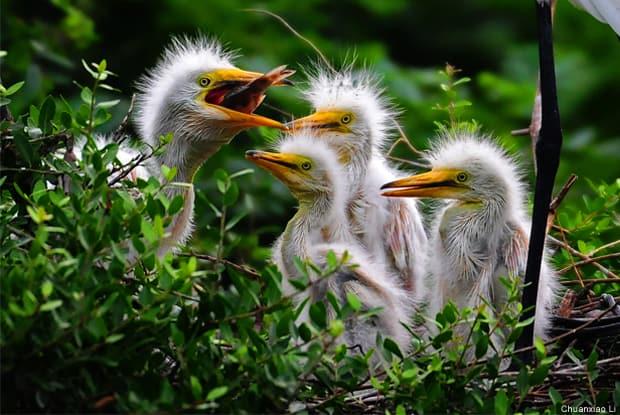 Video: Great Egret Chicks