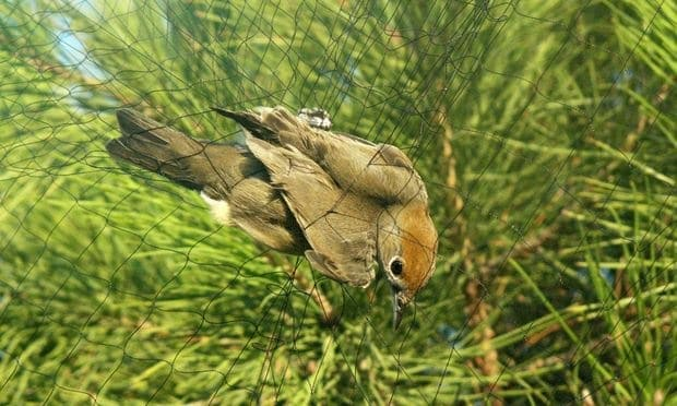 Please help to stop the slaughter of migrating songbirds on Cyprus