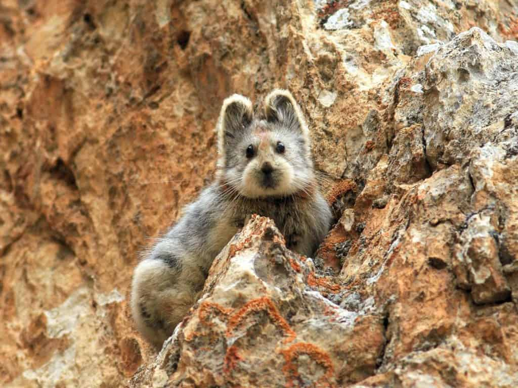 This Ili pika was seen last summer in China's Tianshan Mountains -  Photograph by Li Weidong
