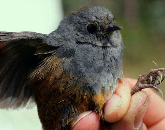 Perijá Tapaculo: New Bird Species Discovered in Colombia, Venezuela