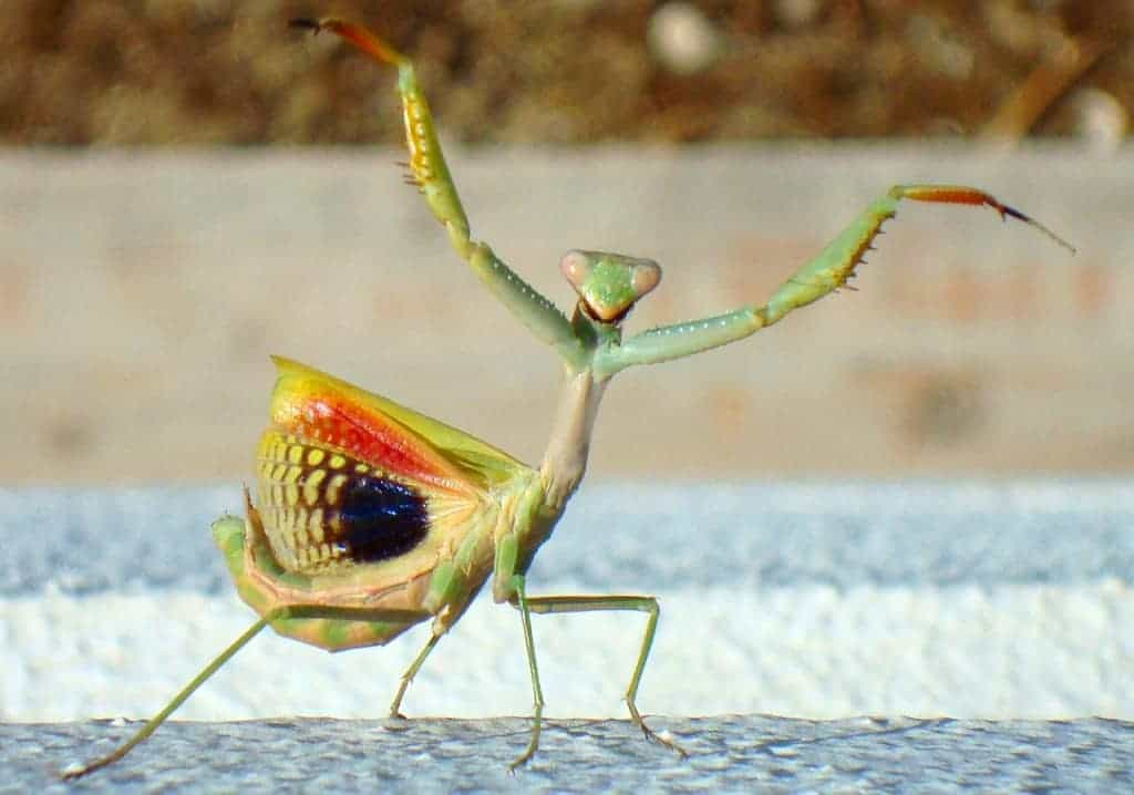 Biologists Surprised by Acrobatic Skills of Juvenile Praying Mantises