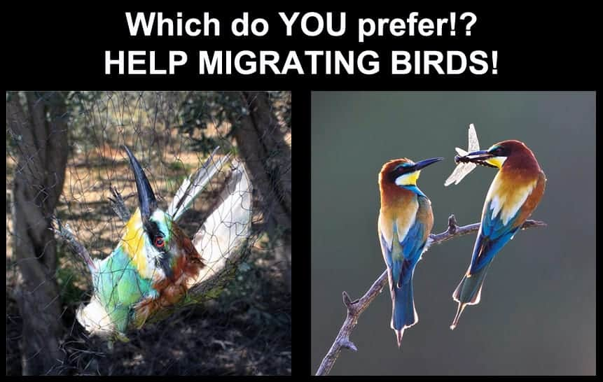 Which Bee-eater do you prefer?