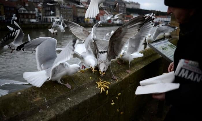 Poll: Should UK towns and cities be allowed to clip seagulls' wings?