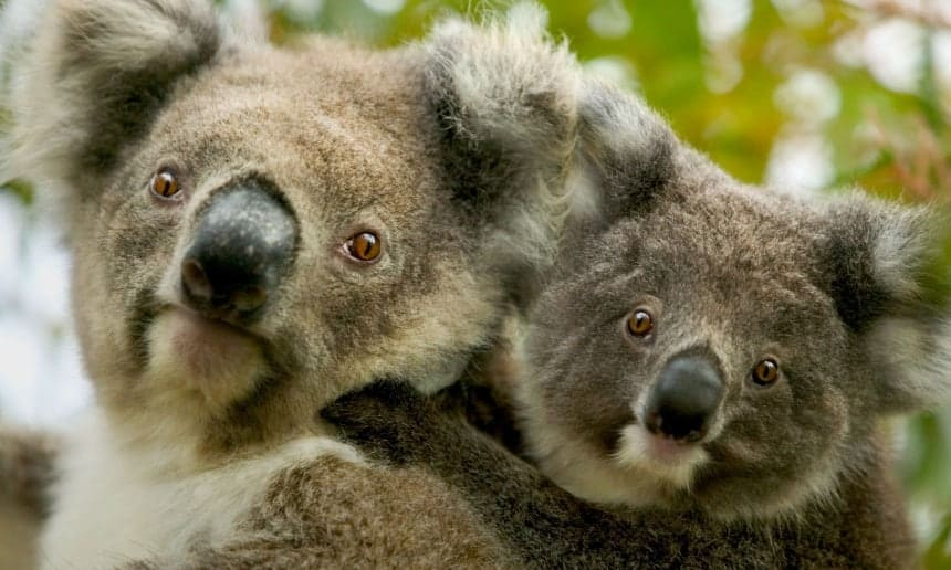 Poll: Should koalas be culled in overpopulated areas to prevent starvation?