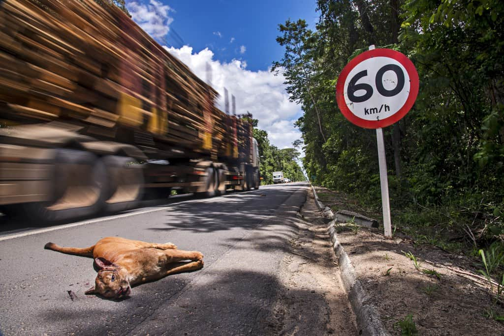 Young, male Puma killed while trying to cross the highway.