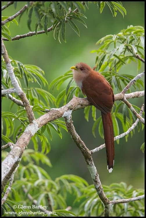 Squirrel Cuckoo Squirrel Cuckoo – Fo...