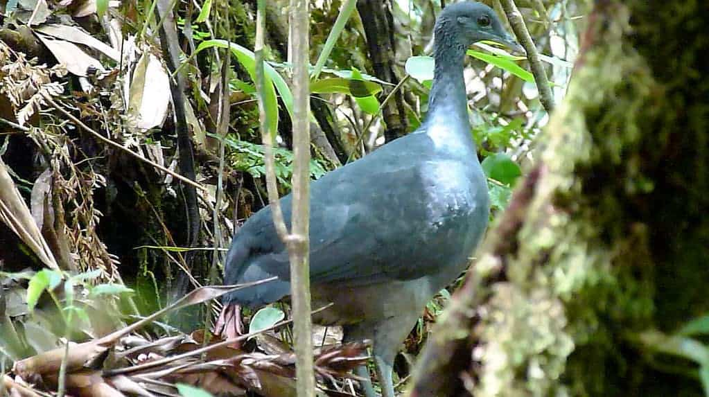 A revealing new look at the secretive black tinamou