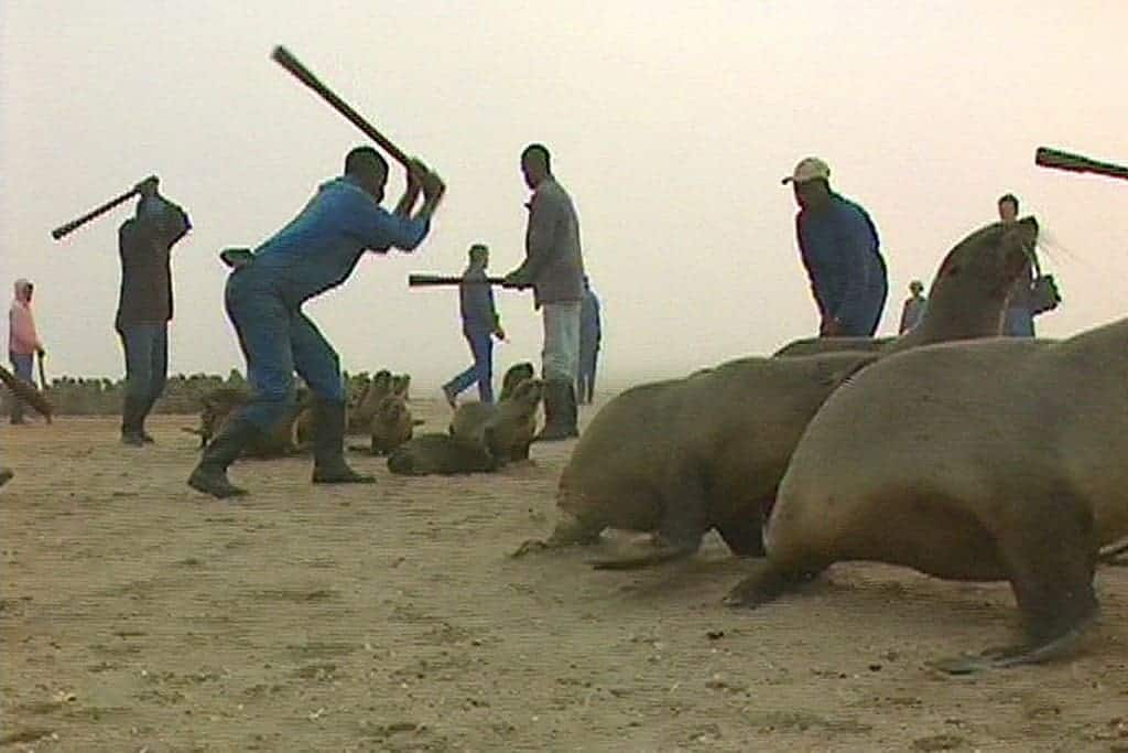 Horror of Namibia's Seal Cull