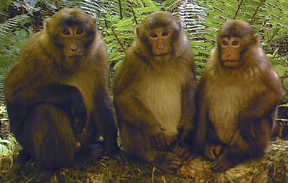 Macaca leucogenys: New Species of Macaque Discovered in Tibet