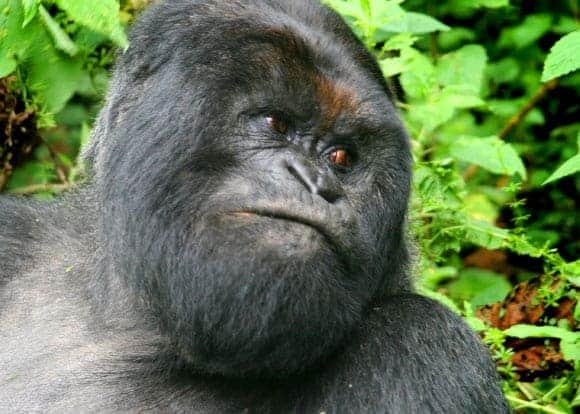 Mountain Gorillas Reveal Their Genetic Secrets