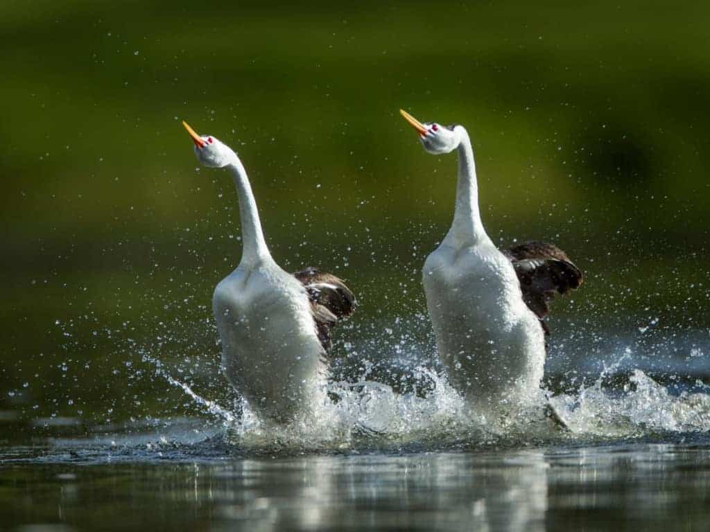 "Birds ""Walk"" on Water to Impress Mates"