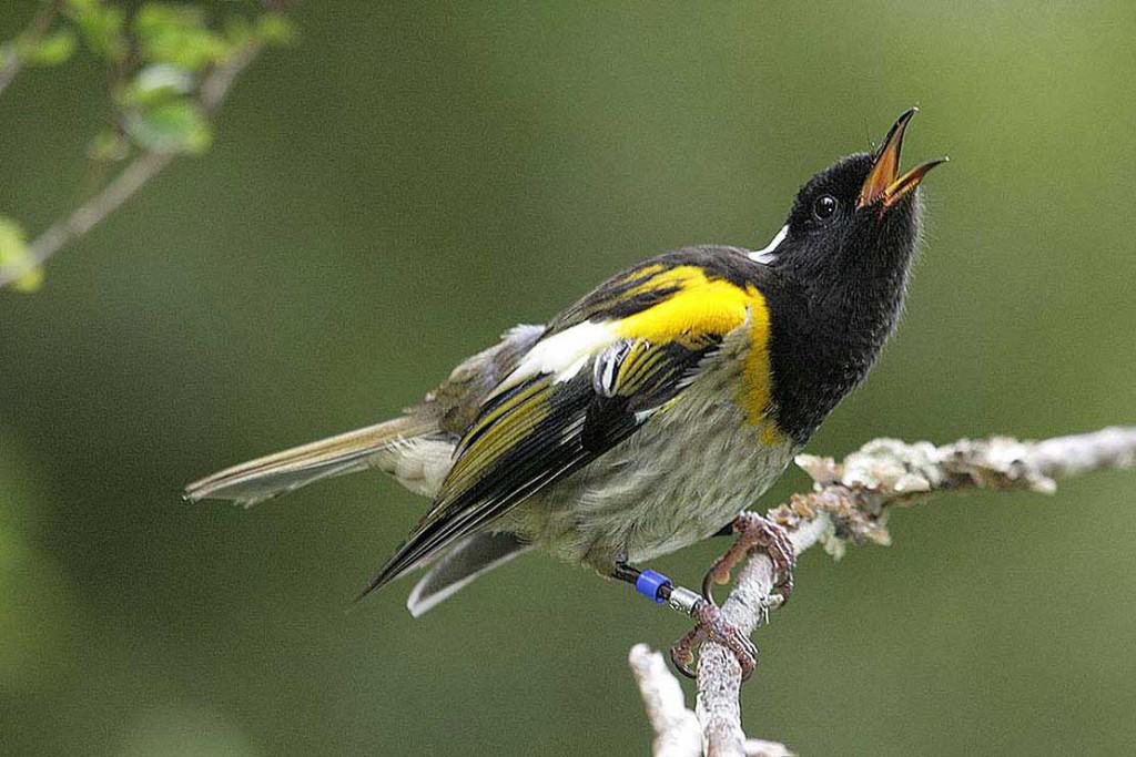 High as a Hihi: Rare New Zealand Birds Trip Out on Unknown Fungus