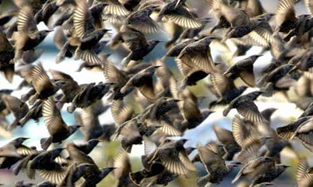 Poll: Should the mass-killing of starlings with pesticides be allowed?