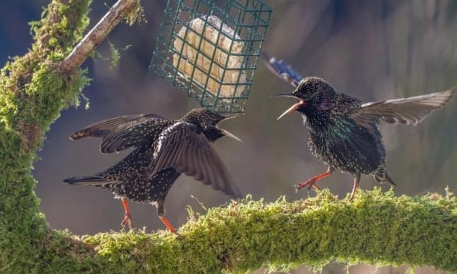 Two starlings squabbling over food on a mossy perch. Their population has declined by 80% since RSPB big garden bird watch survey began in 1979. Photograph: Andrew Rhodes/Alamy