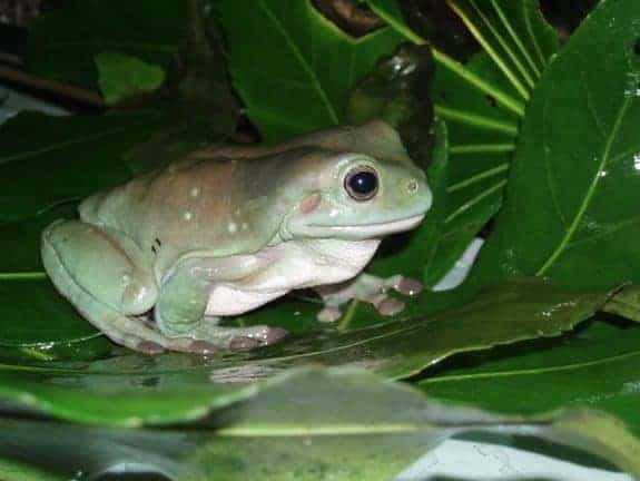 Aphrodisiac for fish and frogs discovered