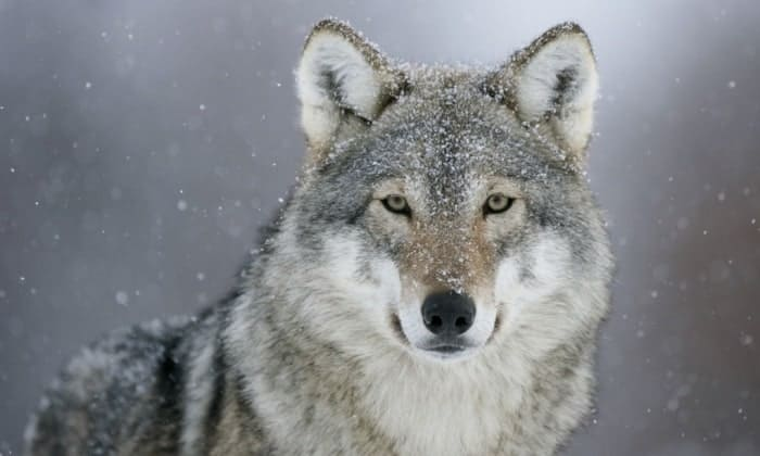 Norway has one of the smallest populations of wolves, with perhaps as few as 30. Photograph: Alamy