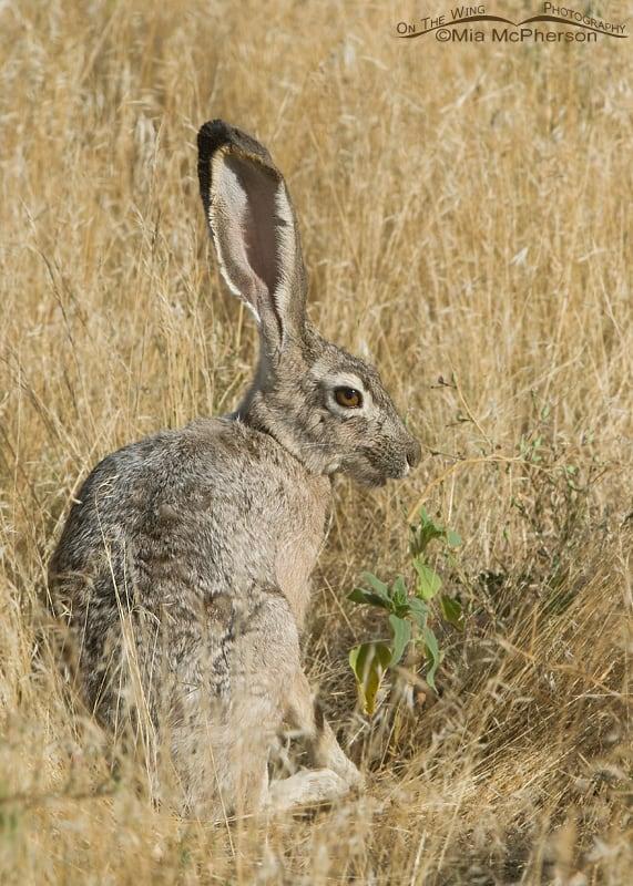black tailed jack rabbit mia mcpherson 8771