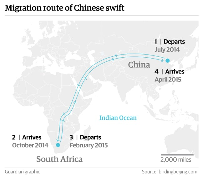 Migration route of Chinese swift