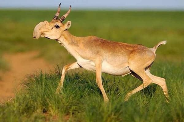 120,000 dead: half of the world's saiga die in less than a month