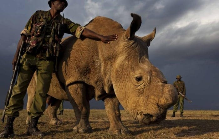At home with the world's last male northern white rhinoceros