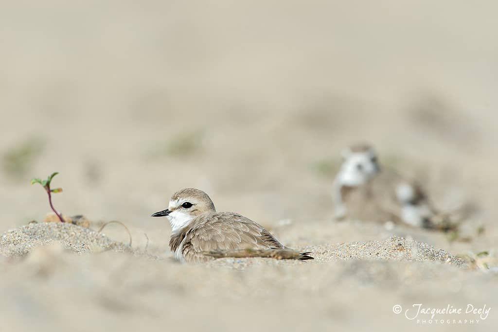 Plovers resting in the sand