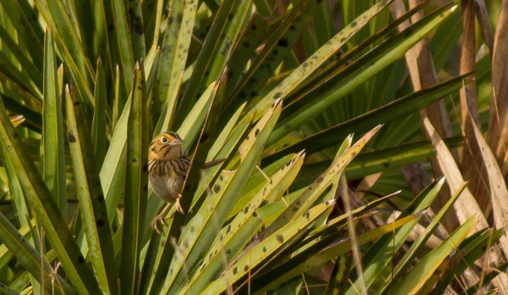 Henslow's Sparrows at Hal Scott Preserve, 3/25/2017