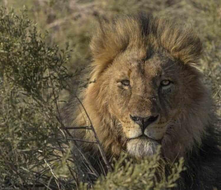 Lions of Mashatu