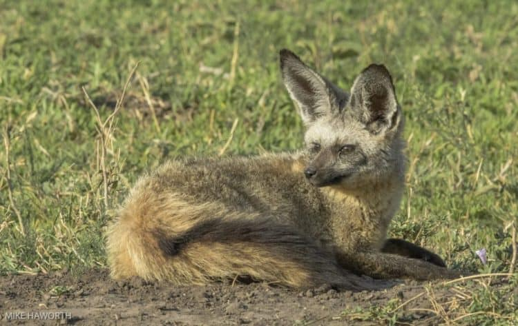 Batty about Serengeti's foxes