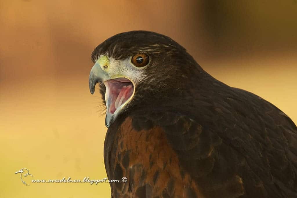 Gavilán mixto (Harris´s Hawk) Parabuteo unicinctus