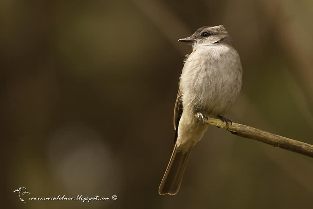 Tuquito gris (Crowned slaty-Flycatcher) Empidonomus aurantioatrocristatus
