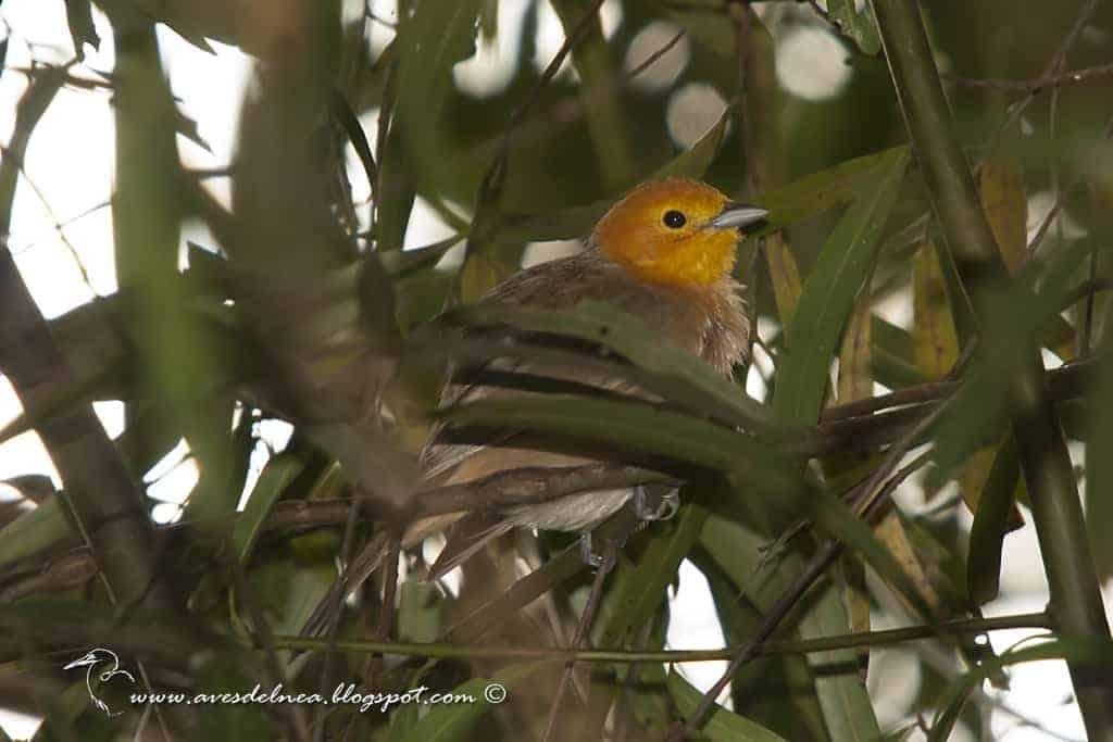 Tangará gris (Orange-headed Tanager) Thlypopsis sordida