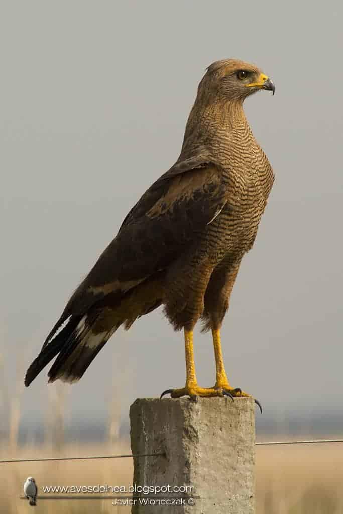 Aguilucho colorado (Savanna Hawk) Buteogallus meridionalis