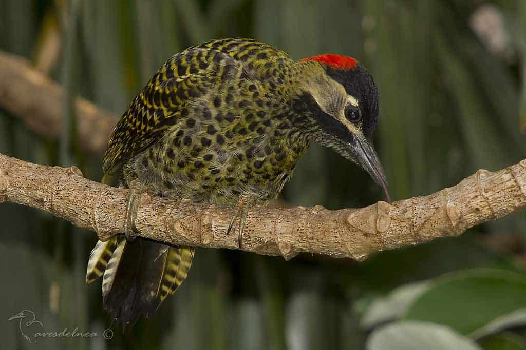 Carpintero real (Green-barred Woodpecker) Colaptes melanochloros