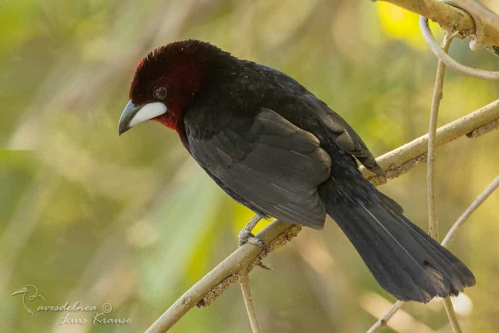 Fueguero Oscuro / Silver-beaked Tanager – Ramphocelus carbo