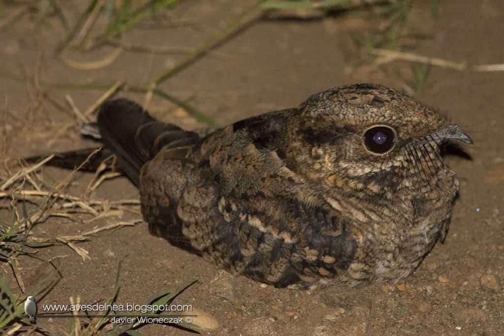 Atajacaminos tijera (Scissor-tailed Nightjar) Hydropsalis torquata