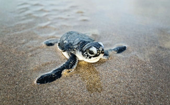 Climate Change is Turning These Green Sea Turtles Female