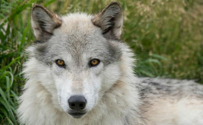 POLL: Should Wyoming prevent the wolf hunting season in 2018?