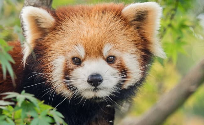 Heartbreaking Red Panda Rescue Raises Concerns About the Illegal Pet Trade
